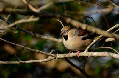 soku_23279.jpg :: 動物 鳥 野山の鳥 シメ