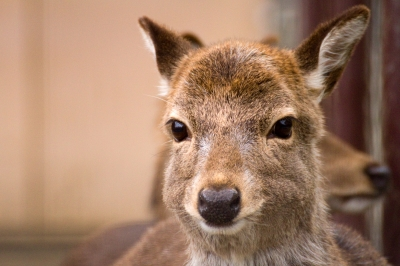 soku_23358.jpg :: 動物 鹿