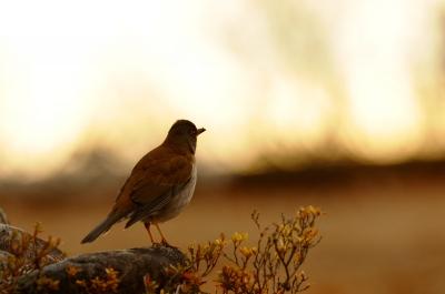soku_23414.jpg :: 動物 鳥 野山の鳥 シロハラ