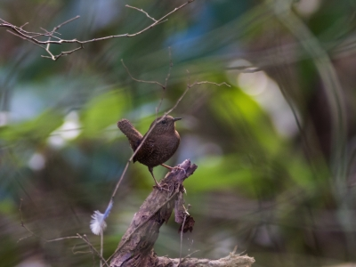 soku_23442.jpg :: 動物 鳥 野山の鳥 ミソサザイ