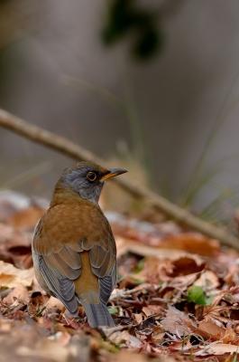 soku_23497.jpg :: 動物 鳥 野山の鳥 シロハラ
