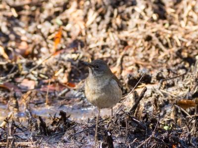 soku_23498.jpg :: 動物 鳥 野山の鳥 シロハラ