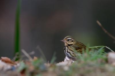 soku_23538.jpg :: 動物 鳥 野山の鳥 ビンズイ