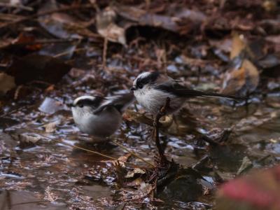 soku_23656.jpg :: 動物 鳥 野山の鳥 エナガ かわいさ 異常