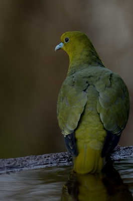 soku_23659.jpg :: 動物 鳥 野山の鳥 アオバト