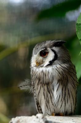 soku_23702.jpg :: 動物 鳥 掛川花鳥園 アフリカオオコノハズク