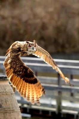 soku_23725.jpg :: 動物 鳥 掛川花鳥園 ベンガルワシミミズク