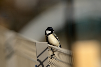 soku_23748.jpg :: 動物 鳥 野山の鳥 シジュウカラ