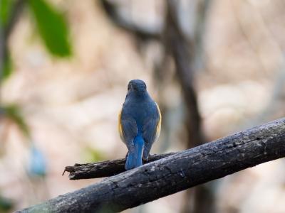soku_23778.jpg :: 動物 鳥 野山の鳥 ルリビタキ