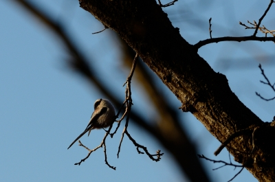 soku_23800.jpg :: 動物 鳥 野山の鳥 エナガ