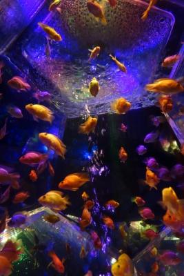 soku_23866.jpg :: 動物 魚類 熱帯魚