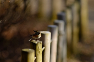 soku_23869.jpg :: 動物 鳥 野山の鳥 ルリビタキ