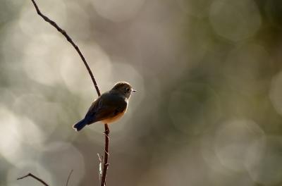soku_23870.jpg :: 動物 鳥 野山の鳥 ルリビタキ