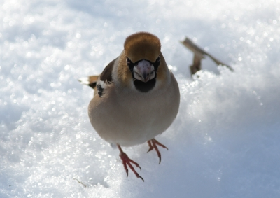 soku_23881.jpg :: 動物 野鳥 シメ