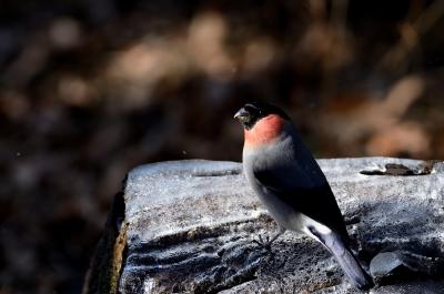 soku_23922.jpg :: 動物 鳥 野山の鳥 ウソ