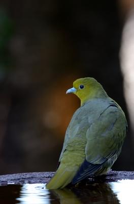 soku_23932.jpg :: 動物 鳥 野山の鳥 アオバト