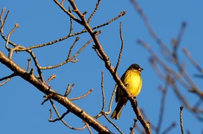 soku_23933.jpg :: 動物 鳥 野山の鳥 アオジ