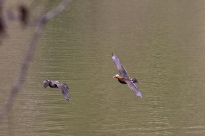 soku_23937.jpg :: 動物 鳥 野山の鳥 オシドリ