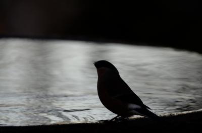 soku_23944.jpg :: 動物 鳥 野山の鳥 ウソ