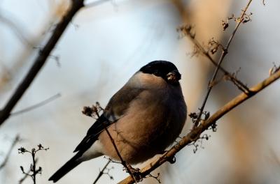 soku_23945.jpg :: 動物 鳥 野山の鳥 ウソ