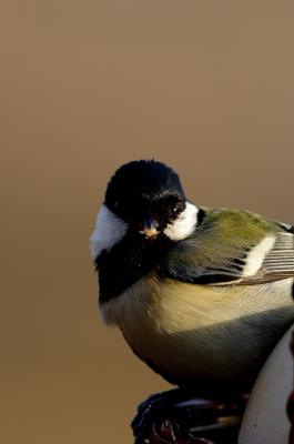 soku_23948.jpg :: 動物 鳥 野山の鳥 シジュウカラ