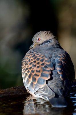 soku_24006.jpg :: 動物 鳥 鳩 ハト キジバト