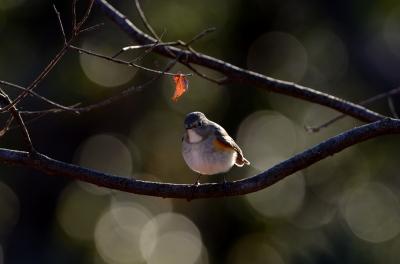 soku_24026.jpg :: 動物 鳥 野山の鳥 ルリビタキ