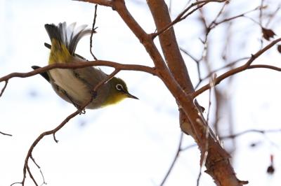 soku_24035.jpg :: 動物 鳥 野山の鳥 メジロ