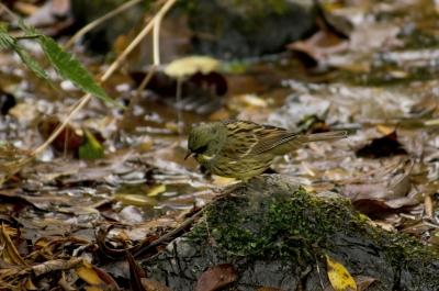 soku_24037.jpg :: 動物 鳥 野山の鳥 アオジ