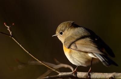 soku_24049.jpg :: 動物 鳥 野山の鳥 ルリビタキ