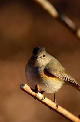 soku_24063.jpg :: 動物 鳥 野山の鳥 ルリビタキ