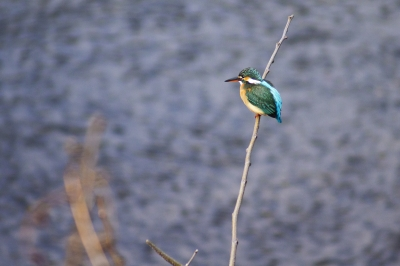soku_24076.jpg :: 動物 鳥 野山の鳥 カワセミ