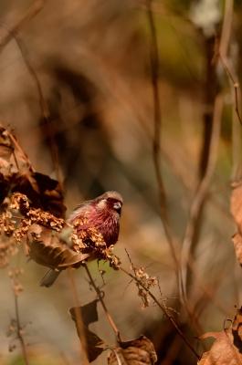 soku_24086.jpg :: 動物 鳥 野山の鳥 ベニマシコ