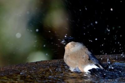 soku_24087.jpg :: 動物 鳥 野山の鳥 ウソ