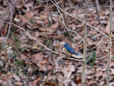 soku_24096.jpg :: 動物 鳥 野山の鳥 ルリビタキ