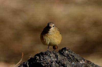 soku_24134.jpg :: 動物 鳥 野山の鳥 ジョウビタキ