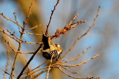 soku_24241.jpg :: 動物 鳥 野山の鳥 コゲラ