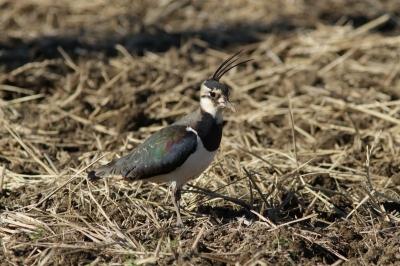 soku_24268.jpg :: 動物 野鳥 タゲリ