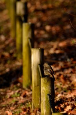 soku_24283.jpg :: 動物 鳥 野山の鳥 ジョウビタキ