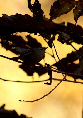 soku_24285.jpg :: 動物 野鳥 キクイタダキ