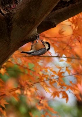 soku_24290.jpg :: 動物 野鳥 ヤマガラ