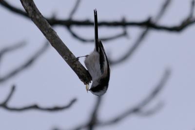 soku_24294.jpg :: 野鳥 動物 エナガ