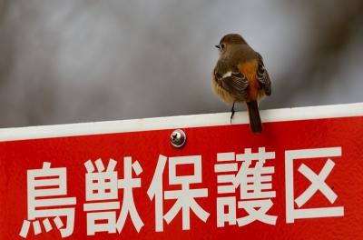 soku_24297.jpg :: 動物 鳥 野山の鳥 ジョウビタキ