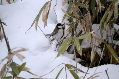 soku_24298.jpg :: 野鳥 動物 シジュウカラ