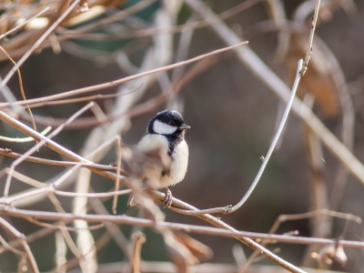 soku_24301.jpg :: 動物 鳥 野山の鳥 シジュウカラ