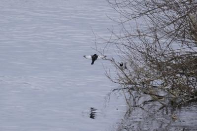 soku_24306.jpg :: 野鳥 動物 セグロセキレイ