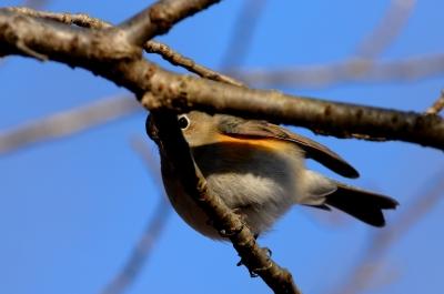 soku_24315.jpg :: 動物 鳥 野山の鳥 ルリビタキ