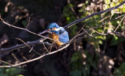 soku_24316.jpg :: 動物 鳥 野鳥 自然の鳥 カワセミ