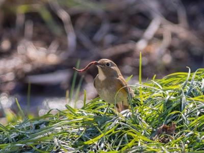 soku_24335.jpg :: 動物 鳥 野山の鳥 ルリビタキ ミミズうめえ