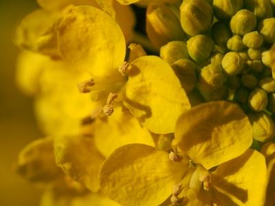 soku_24360.jpg :: マクロ 菜の花